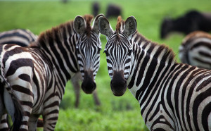 Katavi-National-Park-Zebra