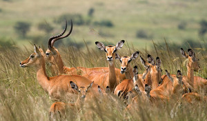 Mikumi-National-Park-Herd-Grassland