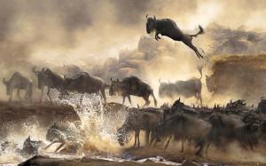 Wildebeests migration serengeti