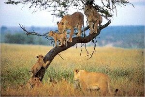 lake manyara lions_on_tree