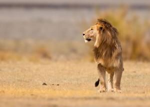male_lion_ngorongoro_crater_tanzania